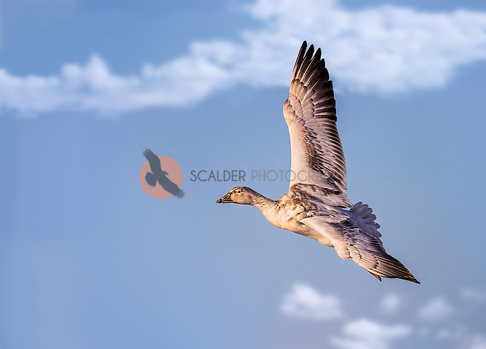 Immature Snow goose in flight against blue sky with puffy clouds