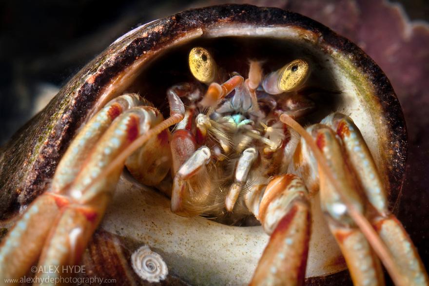 Common Hermit Crab {Pagurus bernhardus} close up of head. Isle of Skye, Scotland.