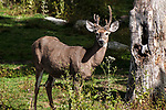White-tailed Deer young buck standing in open field near forests egde looking at camera with velvet covered antlers