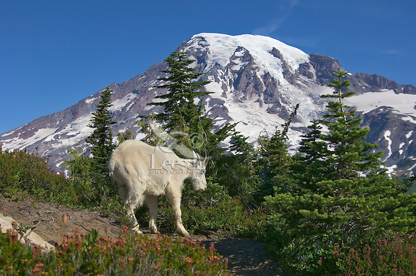 Mountain Goat (Oreamnos americanus).  Mount Rainier National Park, Washington.  Summer