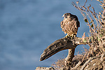 La Jolla, California; a juvenile Peregrine Falcon (Falco peregrinus) vocalizes while perched on a tree branch on a cliff with the Pacific Ocean in the background
