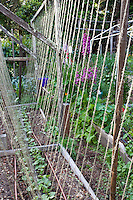 Vegetable, beans planted in rows with string trellis for climbing support in in organic raised bed; MUST CREDIT: Elvin Bishop Garden