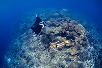 A freediver swims with a giant oceanic manta ray, Mobula birostris, formerly Manta birostris, on a reef pinnacle that rises from deep water. Raja Ampat, Papua, Indonesia, Pacific Ocean