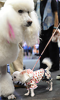 A giant Toy poodle and a miniature get aquainted at the  Osaka Pet Expo and fashion show, Osaka, Japan.<br /> 25-Sep-11<br /> <br /> Photo by Richard Jones