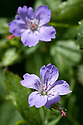 Geranium nodosum 'Svelte Lilac', mid May.