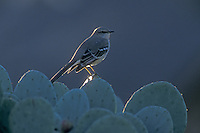 Northern Mockingbird, Mimus polyglottos, adult on prickly pear cactus, San Antonio, Texas, USA, September 2003