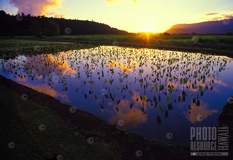 Hanalei National Wildlife Sanctuary with taro, loi ponds and mountains in background at sunset