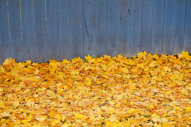 Freshly fallen maple tree leaves along a blue fence