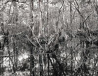 A chaotic abundance of life can be found in the in the Corkscrew Swamp near the Florida Everglades.  The complexity of this ecosystem is beautiful.
