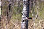 Drake wood duck in flight.