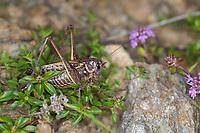Warzenbeißer, Warzenbeisser, Männchen, Decticus verrucivorus, wart-biter, wart-biter bushcricket, male, Le dectique verrucivore, Decticus verrucivorus, le sauterelle à sabre, Tettigoniidae
