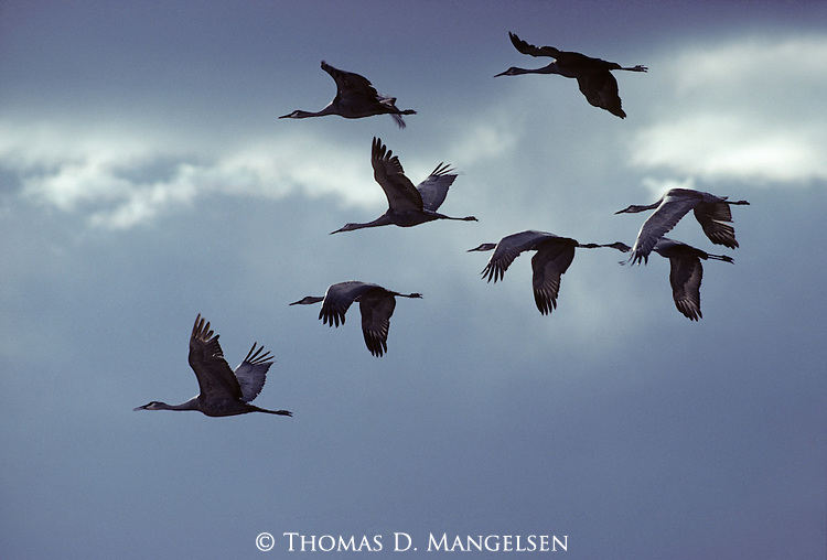 A flock of Sandhill Cranes fly silhouetted against the the dark blue cloudy skies.