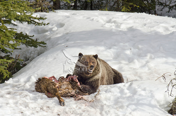 Grizzly Bear with old elk carcass.  Rocky Mountains, Montana.  Spring.