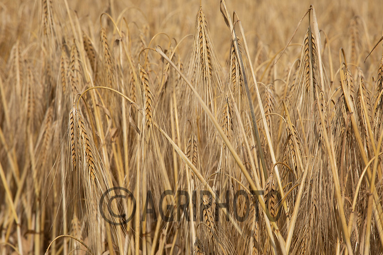 Ripe Winter barley in Rutland<br /> ©Tim Scrivener Photographer 07850 303986<br />      ....Covering Agriculture In The UK....