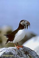 MC37-007c  Atlantic Puffin - holding fish catch in beak at Machias Seal Island, Bay of Fundy - Fratercula arctica