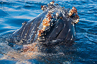 humpback whale, Megaptera novaeangliae, with whale lice and barnacles, Antarctic Peninsula, Antarctica, South Ocean