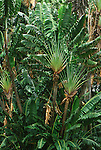 9773-CI Travellers' Tree, Ravenala madegascariensis, at Foster Botanical Garden, Oahu, Hawaii