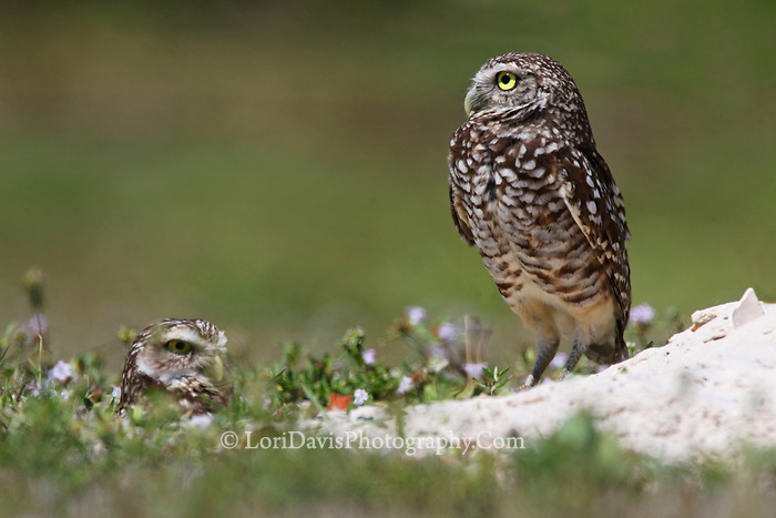 Burrowing owls at den