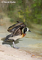 0313-1003  White-faced Whistling Duck Spreading Wings, Dendrocygna viduata  © David Kuhn/Dwight Kuhn Photography.