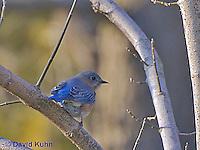 "0121-07xx  Eastern Bluebird ""Male"" - Silialia Sialis - © David Kuhn/Dwight Kuhn Photography"