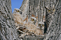 Young Great Horned Owl's (Bubo virginianus) nest with three owlets and mother.  Oregon, spring.