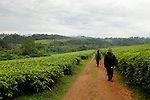 Anti-poaching snare removal team members, Godfrey Nyesiga and John Okwilo, walking through tea plantation bordering protected rainforest, Kibale National Park, western Uganda