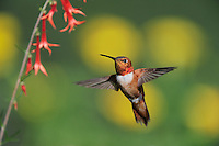 Rufous Hummingbird (Selasphorus rufus), male in flight feeding on Scarlet Gilia (Ipomopsis aggregata), Gila National Forest, New Mexico, USA
