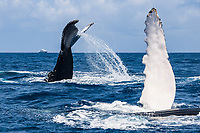 humpback whale, Megaptera novaeangliae, pec-slapping, tail-slapping, Silver Bank, Dominican Republic, Caribbean Sea, Atlantic Ocean