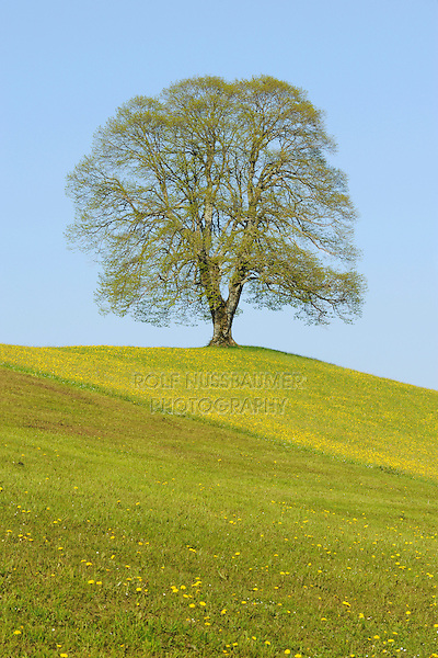 Linden tree (Tilia sp.), tree in spring, Switzerland, Europe