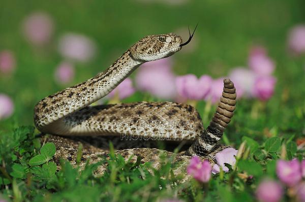 Western Diamondback Rattlesnake (Crotalus atrox), adult in striking pose in field of Showy Primrose, Fennessey Ranch, Refugio, Coastal Bend, Texas, USA