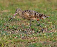 Adult marbled godwit in non-breeding plumage