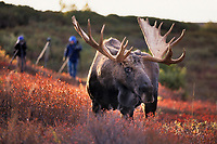Photographers and large bull moose, autumn tundra, Denali National Park, Alaska