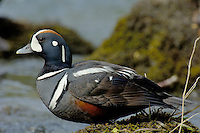 Harlequin Duck drake (Histrionicus histrionicus) along fast flowing mountain stream.  Pacific Northwest.  Spring.