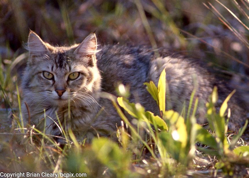 A feral cat outdoors, Daytona Beach, FL. (Photo by Brian Cleary/www.bcpix.com)