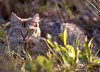 A feral cat outdoors, Daytona Beach, FL. (Photo by Brian Cleary/www.bcpix.com)