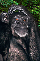 616509060 portraite of a female chimpanzee pan troglodytes - animal is a wildlife rescue from medical research species is highly endangered in the wild