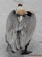 0305-0879  Brown Pelican, Pelecanus occidentalis © David Kuhn/Dwight Kuhn Photography.