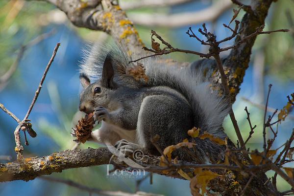 Abert's Squirrel (Sciurus aberti) feeding on seeds in ponderosa pine cone.  South Rim, Grand Canyon, Arizona.