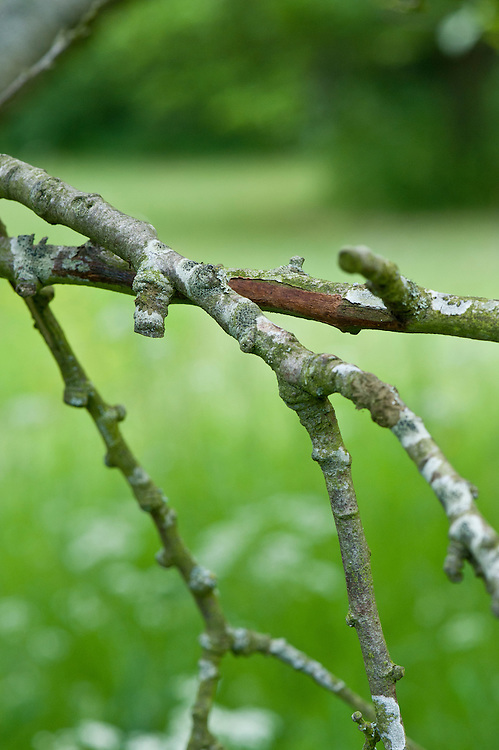 A plum tree in need of pruning: two branches have crossed over and are rubbing against one another, causing a wound in the bark.