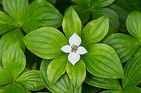 Bunchberry, ground dogwood or dwarf dogwood (Cornus unalaschkensis).  Pacific Northwest.