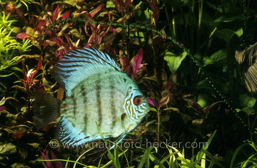 Diskusfisch, Diskus-Fisch, Diskusbuntbarsch, Diskus-Buntbarsch, Diskus, Symphysodon aequifasciatus, Symphysodon aequifasciata, Symphysodon discus aequifasciata, discus, pompadour fish, Buntbarsche, Cichlidae