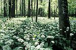 Wild Garlic in Bialowieza forest in eastern Poland.