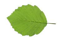 Grau-Erle, Grauerle, Erle, Alnus incana, Grey Alder, Gray Alder, Aulne blanc. Blatt, Blätter, leaf, leaves