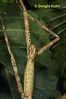 OR07-561z  Walking Stick Insect, close-up of head and antennae,  Acrophylla wuelfingi