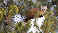 """We were fortunate to see three different American martens (most commonly referred to as """"pine martens,"""" despite being different than the European species) during my February tour. I've had very few opportunities to photograph them over the years."""
