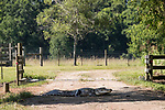 Damon, Texas; a large, adult alligator warming itself in the shade while spanning a dirt road, blocking traffic