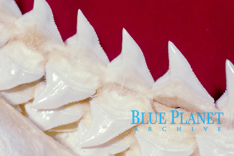 teeth of Galapagos shark, Carcharhinus galapagensis, shark teeth grow in rows and are replaced as teeth are lost or broken off jaw