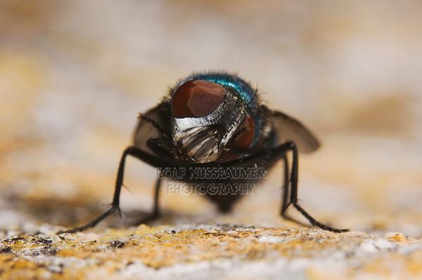 Green Bottle Fly, Phaenicia sericata, adult, Uvalde County, Hill Country, Texas, USA, April 2006