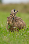 """YOU ARE WHAT YOU EAT.  A hare appears to have a green tongue but on closer inspection it's the leaf it's munching on hanging from it's mouth.<br /> <br /> Events manager Richard Ellis, 52, spotted the hare munching on the leaf in a field in Oxhill, Warwickshire.<br /> <br /> He said """"Hares love the leafs of certain plants mainly dandelions.  Dandelions to them are like the best sweets in the sweet shop.""""<br /> <br /> """"It certainly looks like the hare has a green tongue.  It reminds me of those sweets as a child that turned ones tongue another colour.  The other hares in the field must have been green with envy seeing this chap enjoying the Dandelion""""<br /> <br /> Please byline: Richard Ellis/Solent News<br /> <br /> © Richard Ellis/Solent News & Photo Agency<br /> UK +44 (0) 2380 458800"""