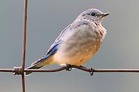 Female mountain bluebird